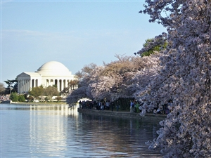 Washington Cherry Blossom Festival
